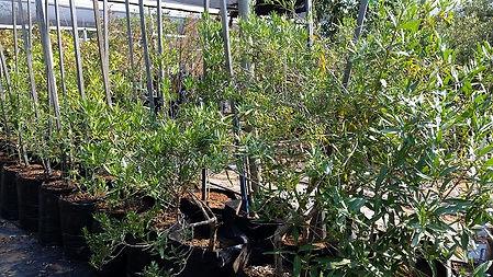 Treurbruidsbos te koop   Pavetta lanceolata in 50L