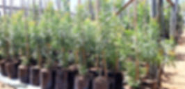 Tarwood tree for sale | Teerhout boom | Loxostylis alata