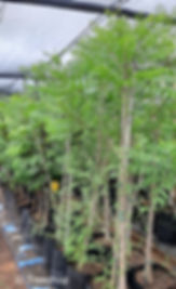 White seringa for sale | Witsering | Kirkia acumunata.jpg