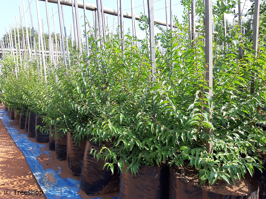 Governors-plum for sale in 50L | Flacourtia indica