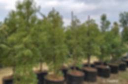 Lavender-trees for sale | Laventelboom | Heteropyxis natalensis 100L.jpg