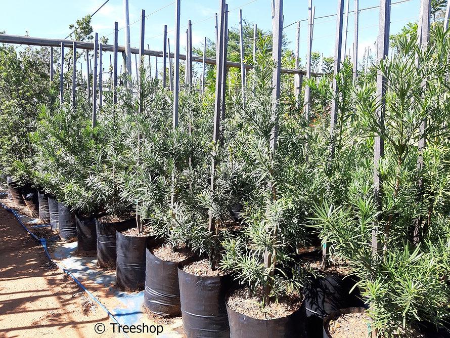 Real broad-leaved yellowwood for sale | Opregte geelhout | Podocarpus latifolius.jpg