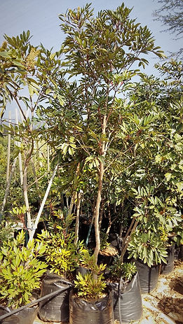 Rooiels boom blare | Cunonia capensis