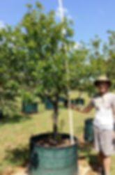 Large Red stinkwood for sale | Prunus africana