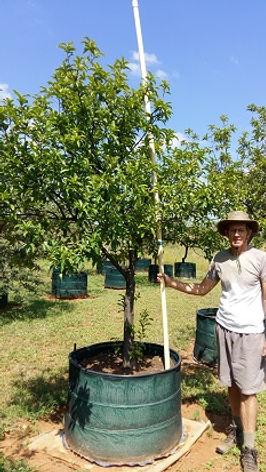 Rooistinkhout boom te koop in 450L | Prunus africana