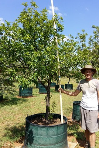 Prunus africana | Red Stinkwood | Rooistinkhout in 450L for sale