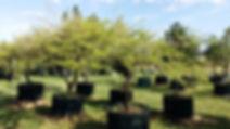 Acacia/Vachelia nilotica | Large trees for sale