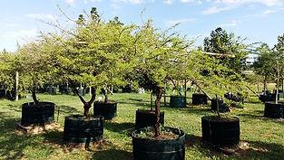 Groot Lekkerruikpeul te koop. Acacia nilotica in 450L | Vachelia nilotica