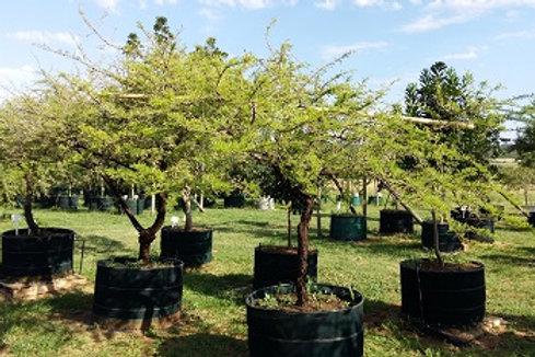 Acacia/Vachellia nilotica | Scented Thorn | Lekkerruikpeul in 450L for sale