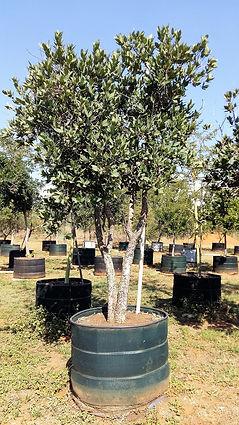 Groot Waterbessie te koop. Syzygium cordatum in 450L