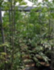 Sneezewood in 50L for sale | Ptaeroxylon obliquum