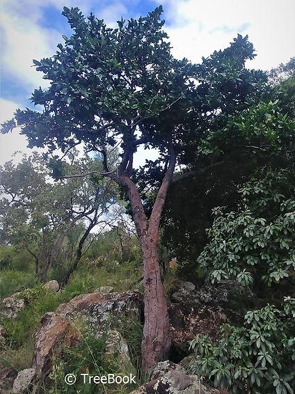 Rothmannia capensis | Wild gardenia | Valskatjiepiering | Striking flowers and fruit