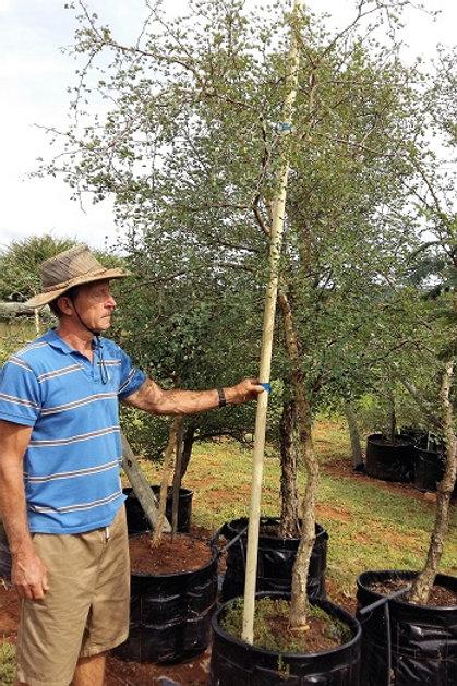 Acacia nigrescens | Knoppiesdoring | Knob-thorn in 100L for sale