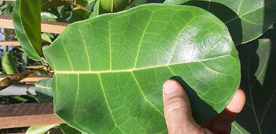 Leaf of ficus lutea | blaar van Reuseblaarvy