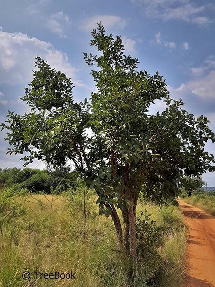 Vangueria infausta | Wild medlar | Deciduous bush veld tree bears edible fruit