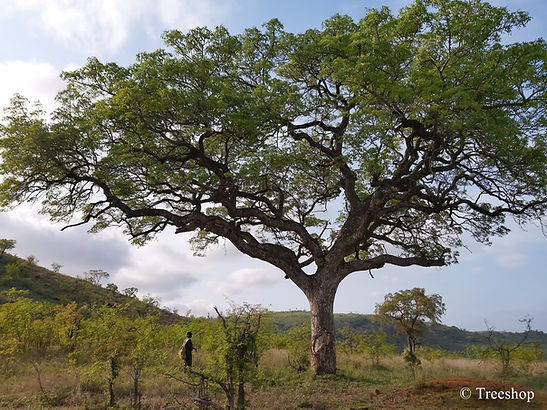 Very large Sclerocarya birrea. Kruger National Park