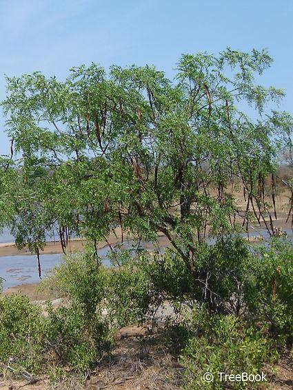 Cassia abbreviata | Sjambok pod, Long-tail cassia | Sjambokpeul | Plant it in a small garden