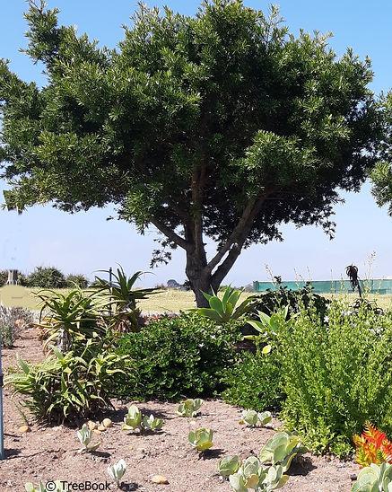 Podocarpus Afrocarpus latifolius | Real yellowwood | Evergreen