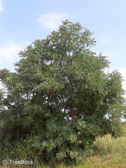 Peltophorum africanum   Weeping wattle   Fast growing flowering tree