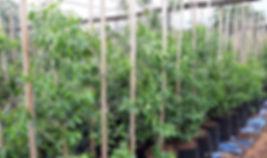 Bushmans-tea for sale in 50L | Boesmanstee | Catha edulis C.jpg