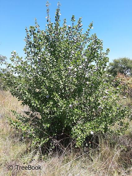Gardenia volkensii   Bushveld gardenia   Bosveldkatjiepiering   non-aggressive roots