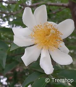 Oncoba spinosa flower C.jpg