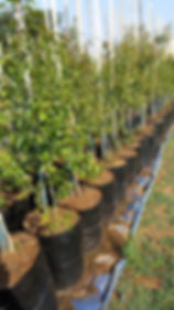 Forest bushwillow in 50L for sale   Combretum kraussii