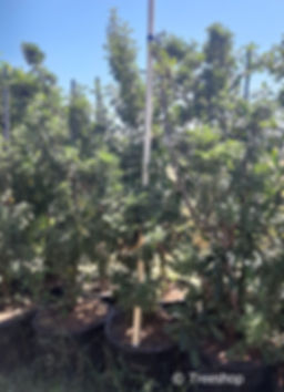 Old wood tree for sale in 100L | Leucosidea sericea