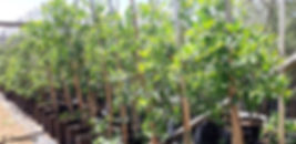 Buy Terminalia sericea | Silver cluster-leaf in 50L