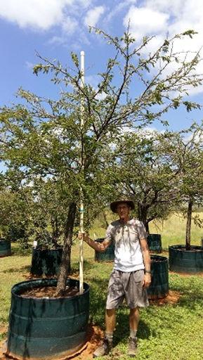 Enkeldoring boom in 450L te koop | Vachellia robusta