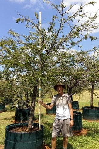 Acacia/Vachellia robusta | Brack Thorn | Brakdoring in 450L for sale