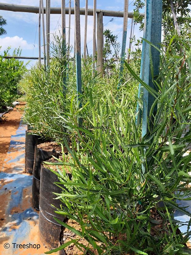 Searsia erosa | Broom karee | Besemkaree for sale.jpg