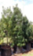 Henkel's yellow wood in 100L for sale | Podocarpus henkelii | Afrocarpus henkelii