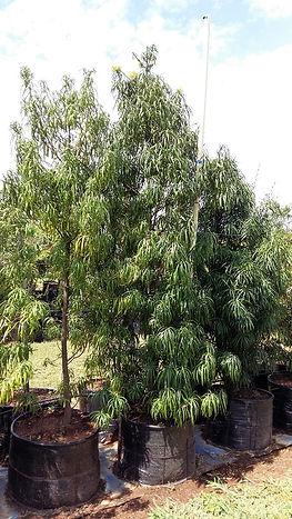 henkel-se-geelhout | Podocarpus henkelii in 100L