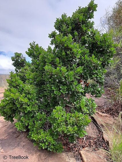 Diospyros whyteana   Bladder-nut   Evergreen screening tree for the very small garden