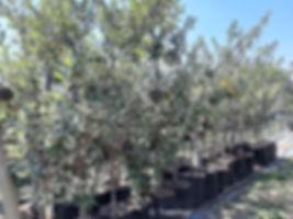 Coastal silver-oak for sale | Kusvaalbos | Brachylaena discolor.jpg