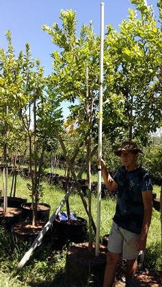 Riviervaderlandswilg in 100L te koop. Combretum erythrophyllum