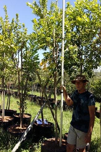 Combretum erythrophyllum | Riviervaderlandswilg | River Bushwillow in 100L for sale