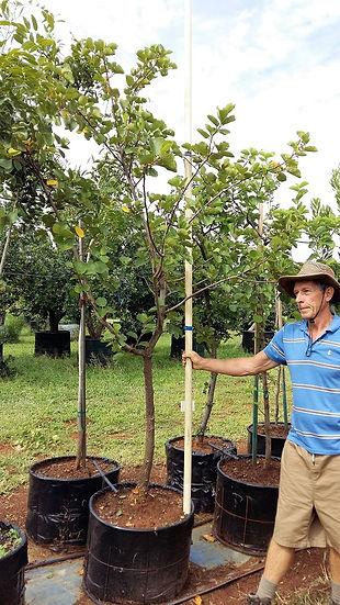 Drolpeer boom in 100L te koop | Dombeya rotundifolia
