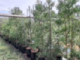 Small-leaved yellowood for sale   Outeniqua geelhout   Afrocarpus falcatus.jpg