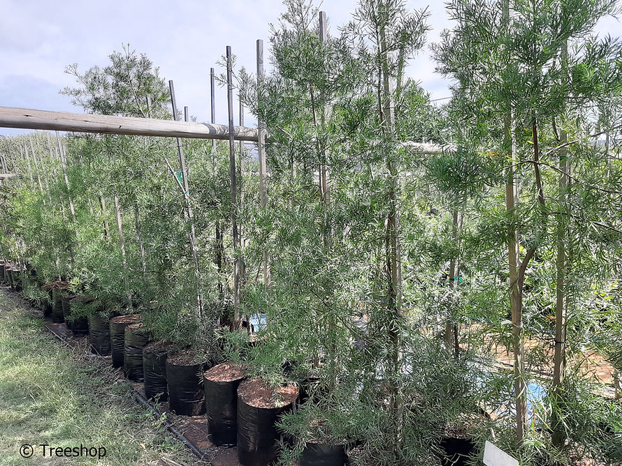 Small-leaved yellowood for sale | Outeniqua geelhout | Afrocarpus falcatus.jpg