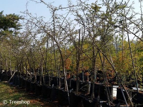 Sickle-bush for sale | Sekelbos | Dichrostachys cinerea.jpg