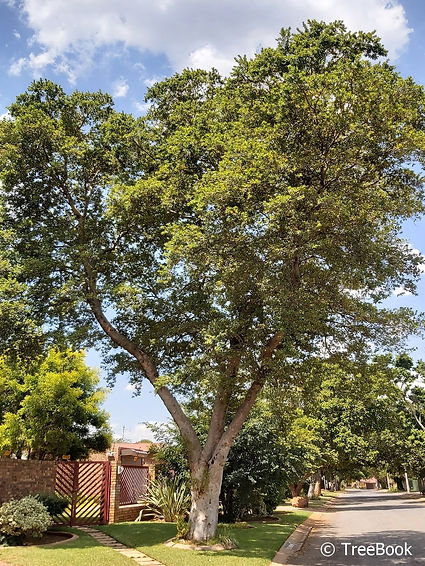 Combretum erythrophyllum | River bushwillow | A very hardy tree. A good shade tree for parking lots, street beautification, children's playground and more.