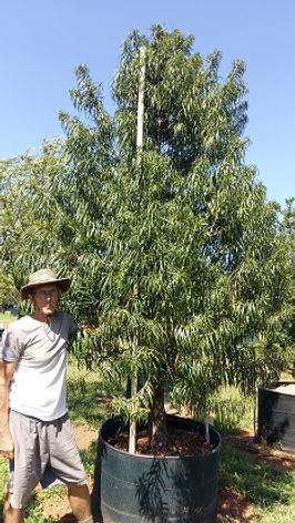 Outeniekwageelhout | Podocarpus henkelii in 450L