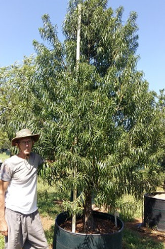 Podocarpus henkelii | Henkel's Yellowwood | Henkel-se-geelhout in 450L for sale