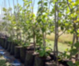 Wild-pear tree for sale | Drolpeer, Wildepeer | Dombeya rotundifolia.jpg