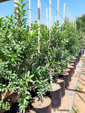 Pepper-bark tree for sale in 50L | Warburgia salutaris