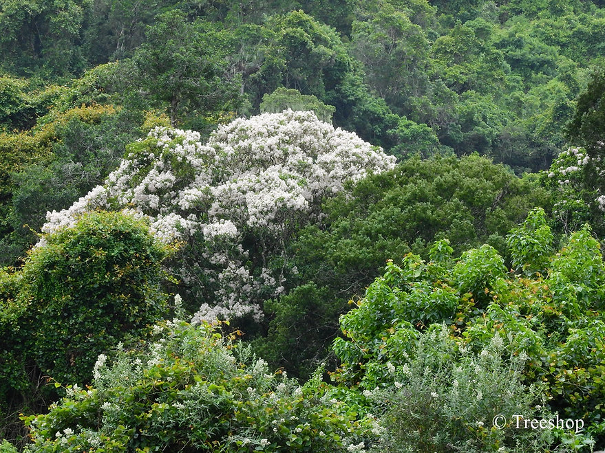 Calodendrum capense (Cape chestnut) flowering in the Garen Route National Park, South Africa