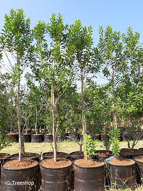 Pepper-bark tree for sale in 100L | Warburgia salutaris