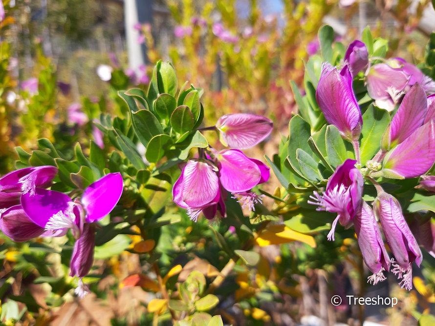 September-bush for sale | Septemberbossie | Polygala myrtifolia.jpg